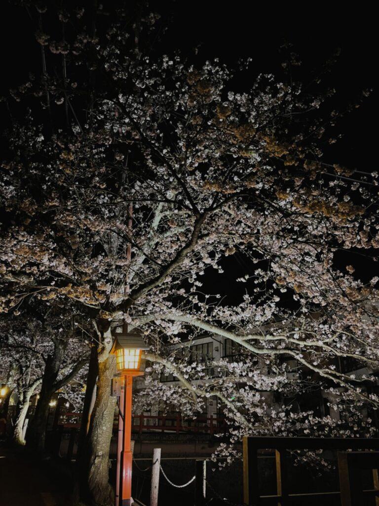 大谿川沿いの桜並木