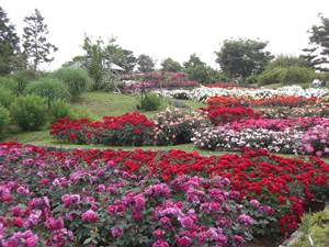 大阪 堺市 高石市 浜寺公園 ばら園 旅行 旅行会社