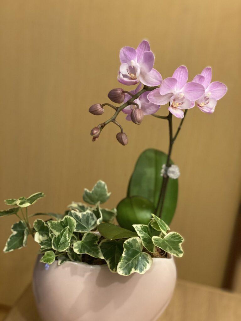 大阪 卓上 胡蝶蘭 母の日