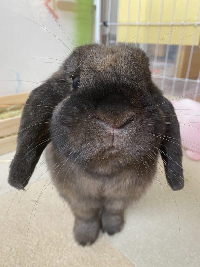 ミミ ウサギ ホーランドロップ